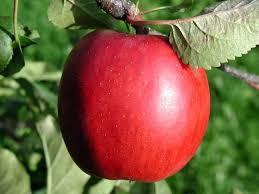 Epler, både sunt og godt